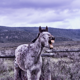 Hee Haw by Gwen Paton - Animals Horses ( great american horse drive, donkey, craig co, colorado,  )