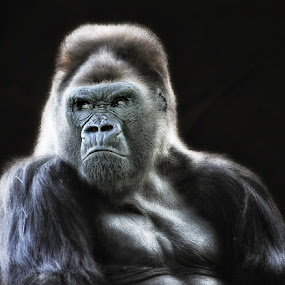 Baddest dude around by Buddy Eleazer - Animals Other Mammals ( gorilla )