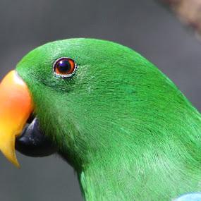 Eclectus Parrot by Trevor Smart - Animals Birds ( eclectus parrot, queensland, parrots, male, birds,  )