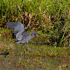 Landing by Zeralda La Grange - Digital Art Animals ( #lake, #nature, #heron, #animals, #birds, #water )