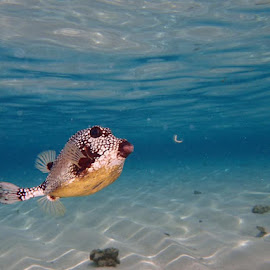 Blow fish from my vacation  by Peaches Pennock - Animals Fish