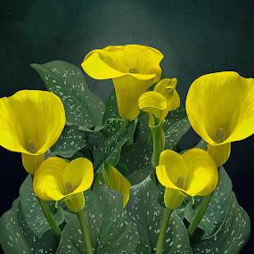 Yellow Calla Lilies by Joseph Vittek - Digital Art Things ( plant, lilies, cally lily, calla, garden, flower )