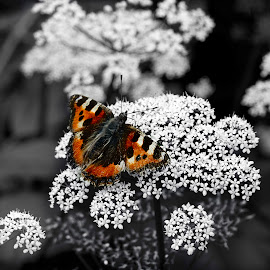 by Andrew Percival - Nature Up Close Other plants ( butterfly, nature, selective color, nature up close, summertime, insect, natural, close up, garden )