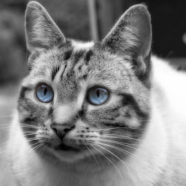 Blue eyes by Steven Calcutt - Animals - Cats Portraits ( cat, cute, pussy cat, portrait, eyes )