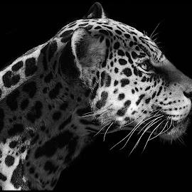 Jaguar by Dave Lipchen - Black & White Animals ( jaguar )