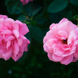 Roses  by Mateja Proučil - Nature Up Close Gardens & Produce ( #nature #oink #roses )