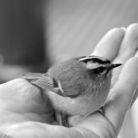 A bird in the hand by Karen McGregor - Black & White Animals (  )