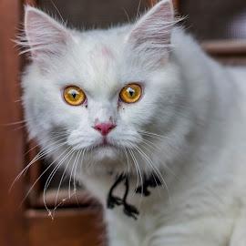 cat portrait by Arvind Patwal Patwal - Uncategorized All Uncategorized ( #cat #portrait #photography #travel #pixoto #,  )