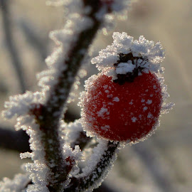 Frost by Lucie Lůca - Nature Up Close Trees & Bushes ( wild, red, winter, frost, rose bush )