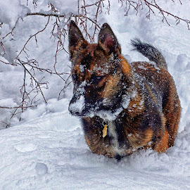 Mesa in the Snow by Twin Wranglers Baker - Animals - Dogs Playing