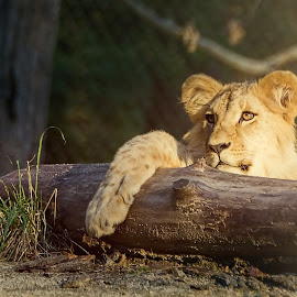 Little Lion King by Jiri Cetkovsky - Animals Lions, Tigers & Big Cats ( young, zoo, lion, little )