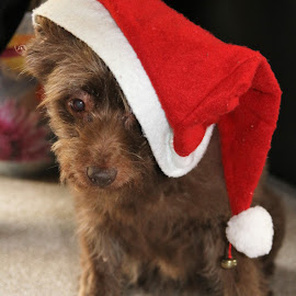 xmas dog by Carola Mellentin - Animals - Dogs Portraits