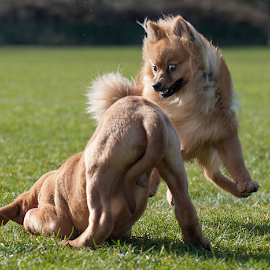 play time by Michael  M Sweeney - Animals - Dogs Puppies ( michael m sweeeney, puppy, dog, pomeranian )