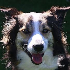 Capri by Chrissie Barrow - Animals - Dogs Portraits ( border collie, tongue, female, pet, white, ears, tri-colour, dog, nose, tan, black, portrait, eyes )