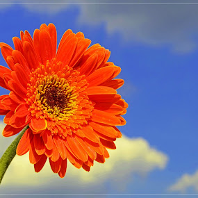 Gerbera Daisy by Nunsyinrayakaf Ainzalmimya - Nature Up Close Flowers - 2011-2013