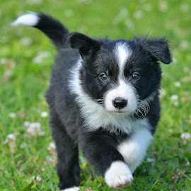 border collie by Dominic Roy - Animals - Dogs Puppies ( playing, border collie, puppy, dog, young )