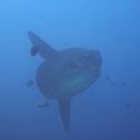 Sunfish/Moonfish