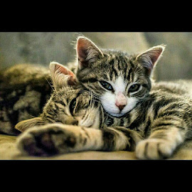 Sisters by Melanie Pond - Animals - Cats Kittens ( cats, two, cat, kitten, couch, nap, tired, catsofinstagram, sleeping, kittens, cute,  )