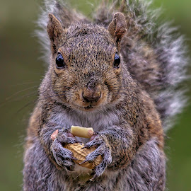Squirrel snack by Carol Plummer - Animals Other Mammals