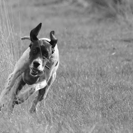by Mark Butterworth - Animals - Dogs Running