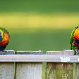 Rainbow lorikeets by Troy Carroll - Animals Birds ( colour, 300mm, best, nikon, birds )