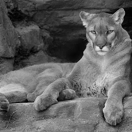 Cougar Rock by Shawn Thomas - Black & White Animals