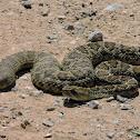 Mojave rattlesnake/Víbora cascabel del Altiplano