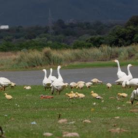 Ducks by Tahir Sultan - Animals Birds ( #ducks, #nature, #islamabad, #animals, #birds,  )