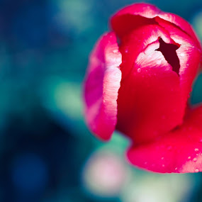 by Monica Franco-Pineda - Nature Up Close Flowers - 2011-2013 ( macro, red, tulip, flowers )