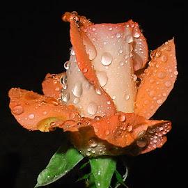 Orange rose for my Princess... by Милан Јакшић - Flowers Single Flower ( love, orange, flowers, tears, nature, princess, garden, hope, god, roses, colors, night shot )