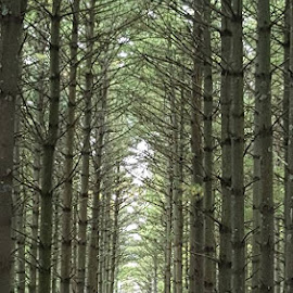 Line of Trees by Suzette Christianson - Landscapes Forests