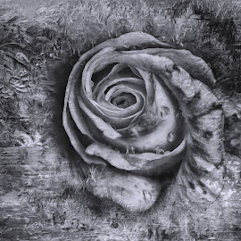 by Al Duke - Digital Art Things ( rose )