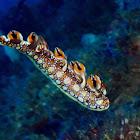 Dragon Nudibranch