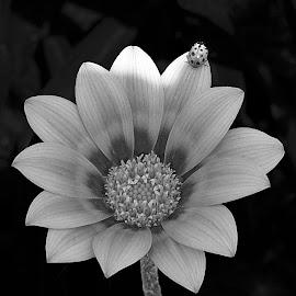 by Mohamed Habib - Black & White Flowers & Plants