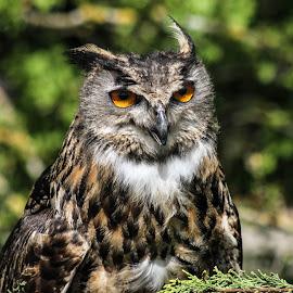 Owl by Garry Chisholm - Animals Birds ( bird, garry chisholm, eagle, natre, owl, wildlife, prey )