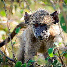 Monkeying Around by Hannes van Rooyen - Animals Other Mammals (  )