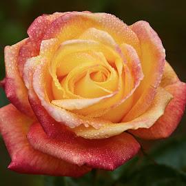 0 Rose 9683~ 1 by Raphael RaCcoon - Flowers Single Flower
