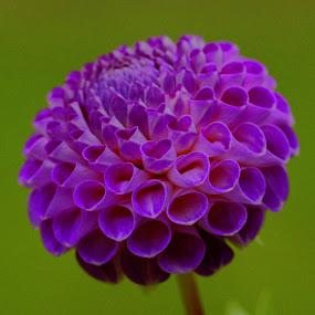 by Tim Bennett - Flowers Single Flower