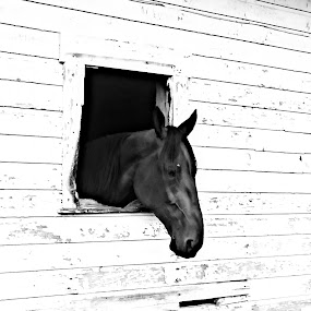 Looking out from the shadows by Brian  Shoemaker  - Animals Horses ( horse, barn, animal, looking, black and white, window )
