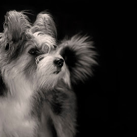 Pyper by Jacqui Sjonger - Animals - Dogs Portraits ( low contrast, pet portrait, pet photography, low key, black and white, pet, dramatic, intense, dog portrait, drama, dog, portrait, animal )