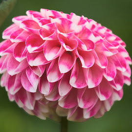 Dahlia 8971~ by Raphael RaCcoon - Flowers Single Flower