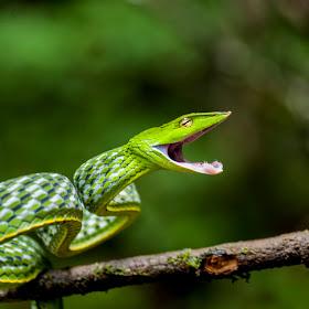 vine snake.jpg
