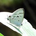 Blue Tit Butterfly