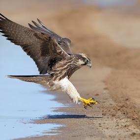 Lanner Falcon by Neal Cooper - Animals Birds ( bird of prey., lanner falcon, kalahari )