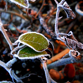 by Vesna S. Disić - Nature Up Close Trees & Bushes ( detail, winter, nature, green, ice, brown, day, leaves, frozen, close up, branches )