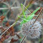 Lily Bush-Cricket