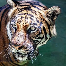 Tigers Eye by Kim Hadji - Uncategorized All Uncategorized