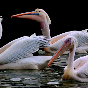 Three pelicans on water by Francois Wolfaardt - Uncategorized All Uncategorized ( water, macro, nature, three, pelicans, birds, swimming, close-up )
