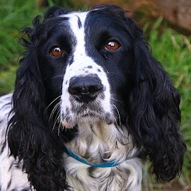Missy by Chrissie Barrow - Animals - Dogs Portraits ( springer spaniel, female, pet, white, whiskers, fur, ears, dog, black, portrait, nsoe, eyes )