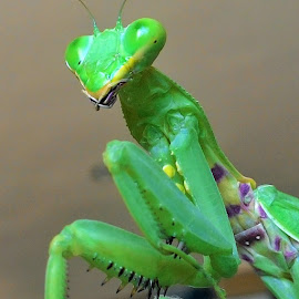 Mantis  by Qi Seng - Animals Insects & Spiders ( macro photography, bestoftheday, nature photography, photooftheday )
